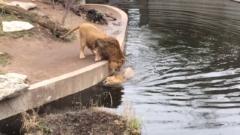 こんな百獣の王見たくなかった!ライオンが落水してしまうドジな姿に思わず笑ってしまう!