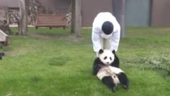 アドベンチャーワールドのパンダの赤ちゃん桜浜・桃浜が飼育員に家に連れ帰らされる映像が可愛すぎ!