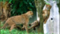 多摩動物公園の木に挟まったチーターの目がなんともいえないと話題!
