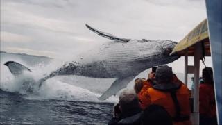 驚かそうと弄ばれている…超至近距離でのクジラの大ジャンプの迫力がすごい!